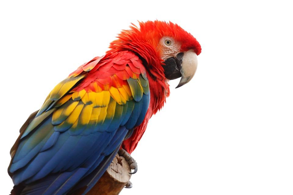 Papoušek Alex