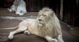 Barevní mutanti v říši lvů